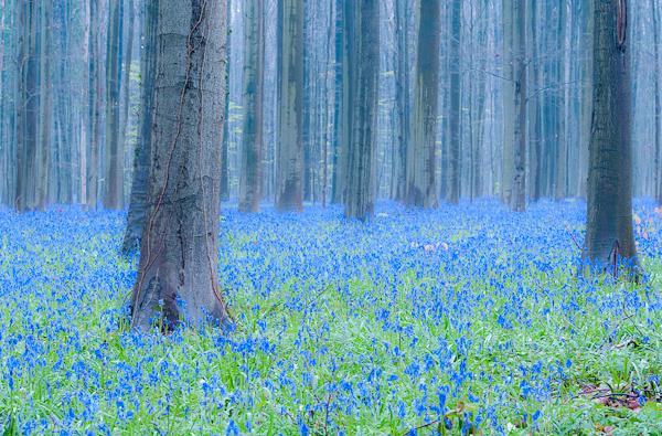 Giacinto di bosco