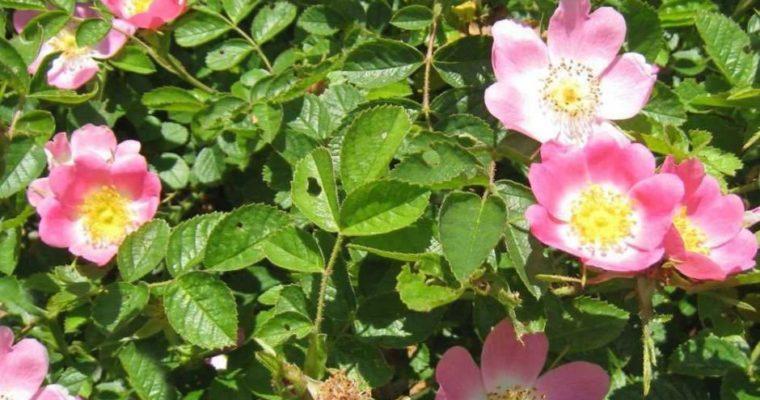 Rosa canina, come usare la versione rustica della regina dei fiori