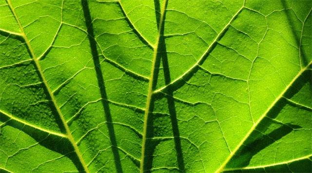 La clorofilla, il sangue verde che migliora la nostra salute